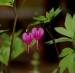 Bleeding Hearts Yosemite ac